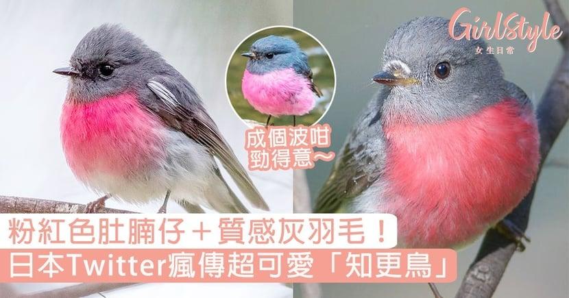 粉紅色肚腩仔+質感灰羽毛!日本Twitter瘋傳超可愛「知更鳥」,肥嘟嘟成個波咁好療癒~