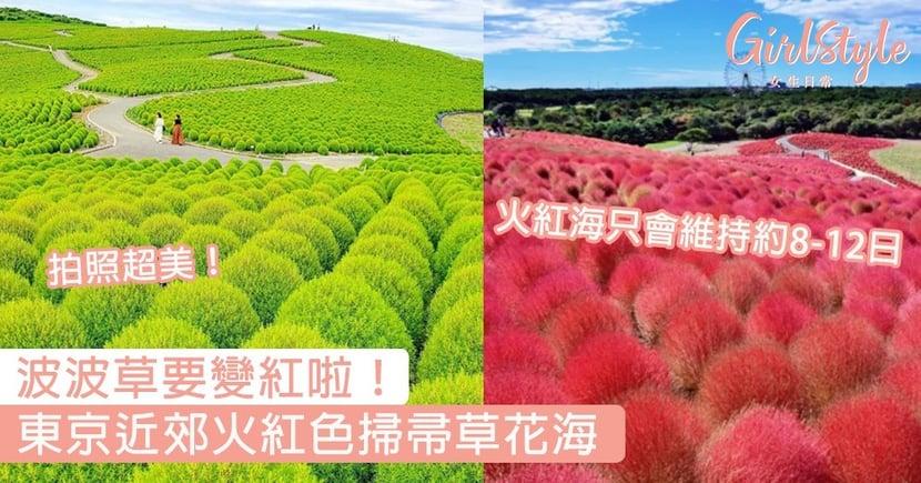 波波草要變紅啦!東京近郊火紅色掃帚草花海,火紅海只會維持約8-12日~