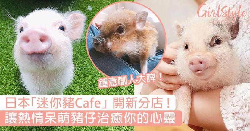 日本「迷你豬Cafe」開新分店!讓超萌豬仔治癒你的心靈,快去探望牠們吧!