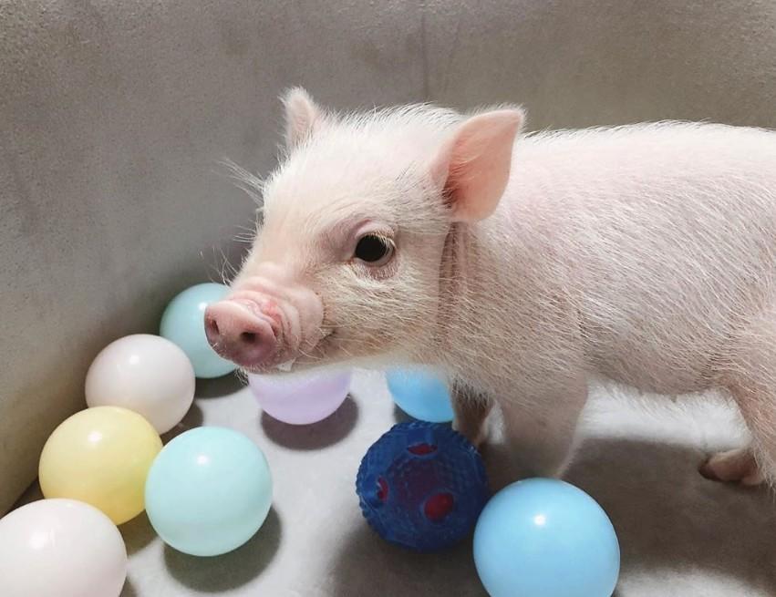 可以一邊觀賞小豬並享用飲料以及甜點輕食