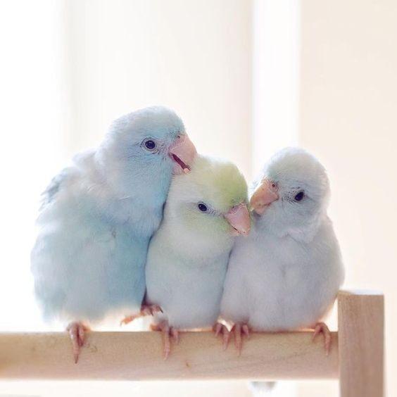 這次為大家介紹的就是4隻夢幻仙氣色系的「太平洋鸚鵡」,絕對是史上最仙的小鸚鵡,整個心都被融化了!