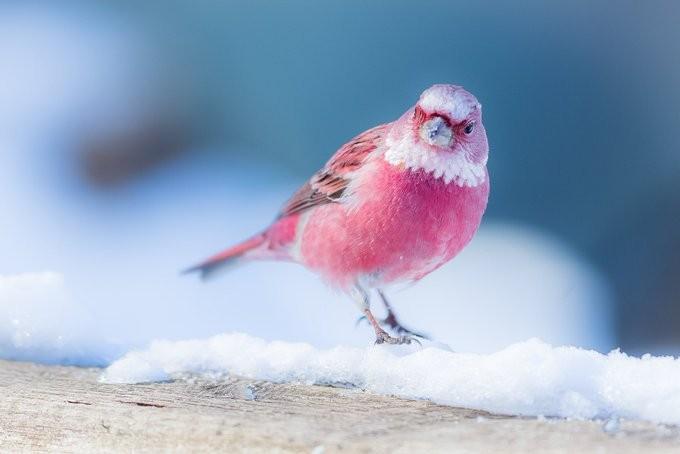 雪地裡盛開的玫瑰!日本攝影師拍下「夢幻櫻花色雀仔」