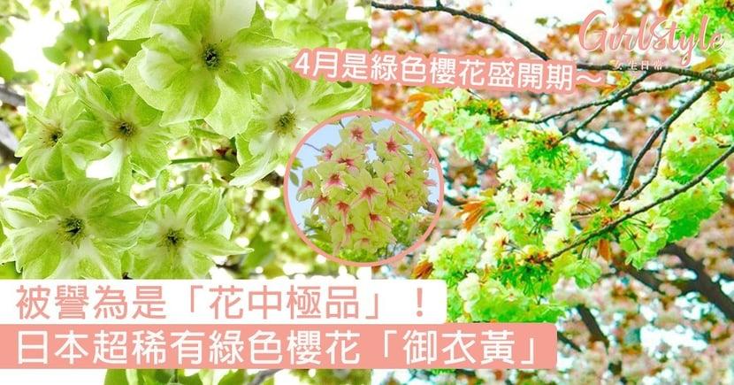 日本超稀有綠色櫻花「御衣黃」!被譽為是「花中極品」,4月賞綠色櫻花最剛好~