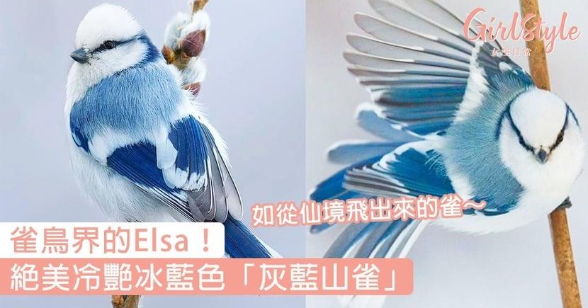 雀鳥界的Elsa!絕美冷艷冰藍色「灰藍山雀」,如從仙境飛出來的雀~