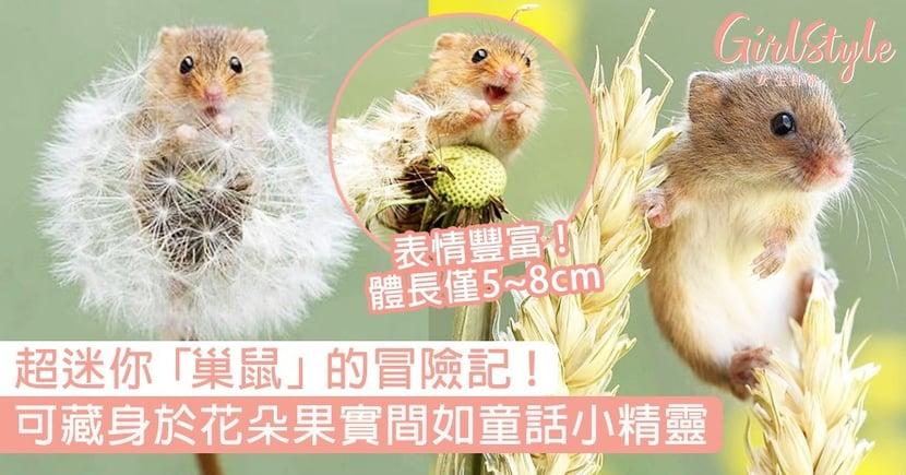 超迷你「巢鼠 」的冒險記!可藏身於花朵果實間,表情豐富如童話小精靈!