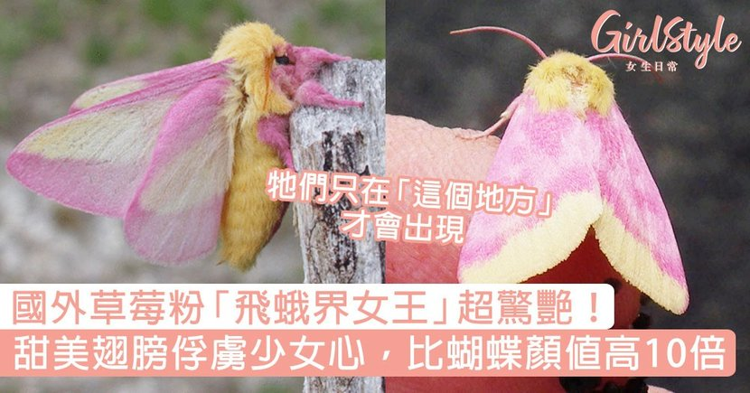 國外草莓粉「飛蛾界女王」超驚艷!甜美夢幻翅膀俘虜少女心,比蝴蝶顏值高出10倍!