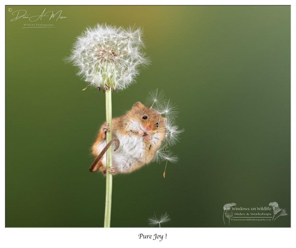 巢鼠超迷你囓齒目動物 英國攝影師Dean Mason拍攝巢鼠可愛日常