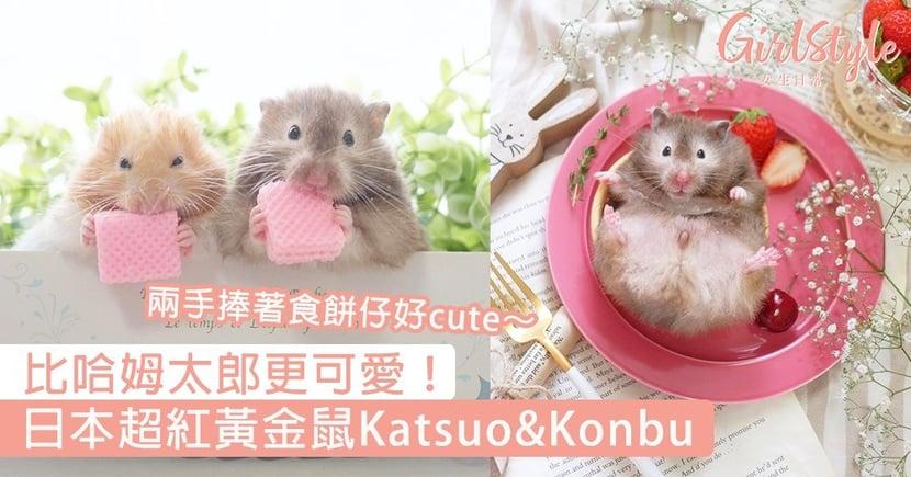 日本超紅黃金鼠Katsuo&Konbu!兩手捧著食餅仔的模樣好萌,比哈姆太郎更可愛~