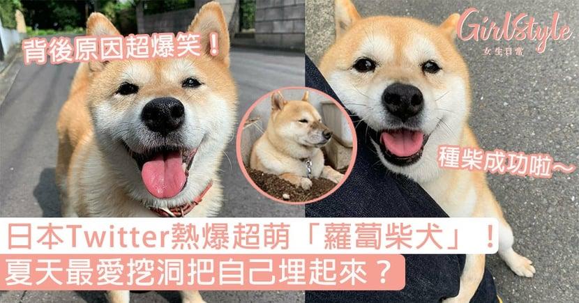 日本Twitter熱爆超萌「蘿蔔柴犬」!夏天最愛挖洞把自己埋起來?背後原因超爆笑!