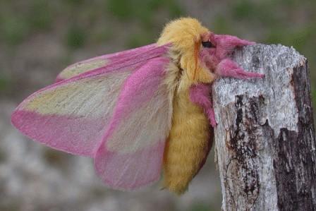 【玫瑰楓葉蛾】Rosy Maple Moth