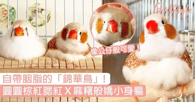 自帶胭脂的「錦華鳥」!圓圓棕紅腮紅X麻糬般嬌小身軀,又名「珍珠鳥」超可愛!