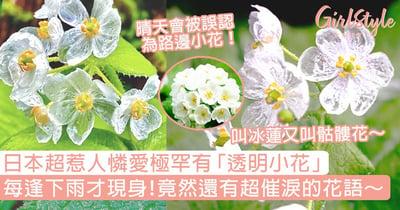 日本超惹人憐愛極罕有「透明小花」!每逢下雨才現身,竟然還有超催淚的花語~