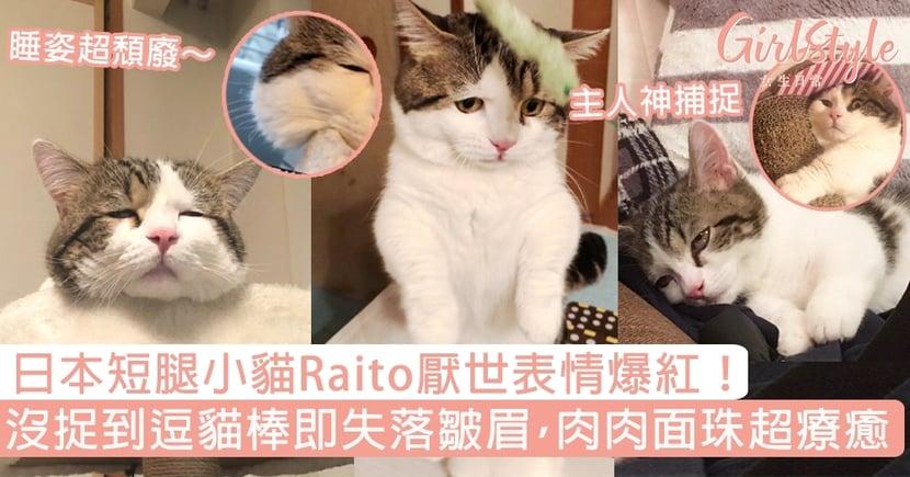 日本短腿小貓Raito厭世表情爆紅!沒捉到逗貓棒即失落皺眉,肉肉面珠超療癒~
