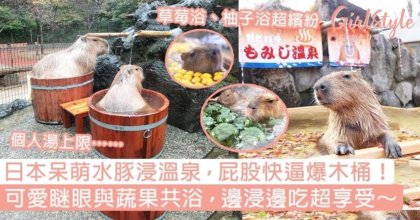 日本呆萌水豚浸溫泉~屁股快逼爆木桶!與蔬果共浴,邊浸邊吃超可愛~