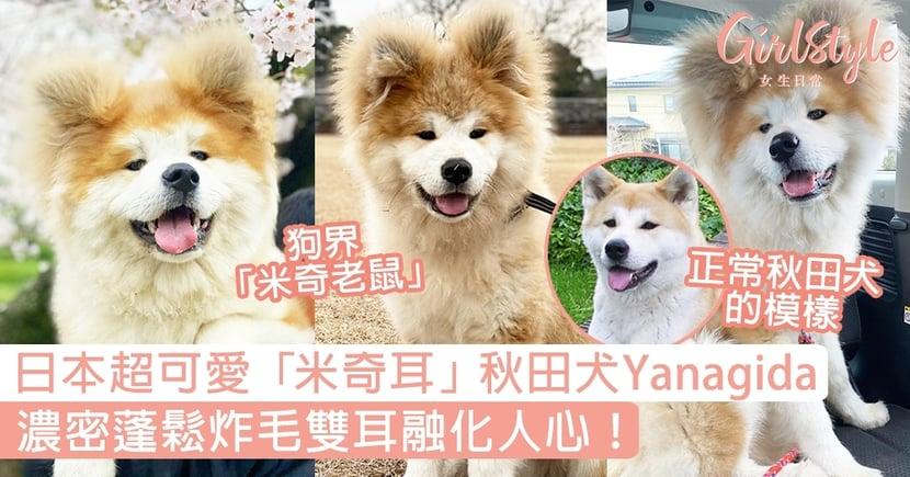 日本超可愛「米奇耳」秋田犬Yanagida,濃密蓬鬆炸毛雙耳融化人心!