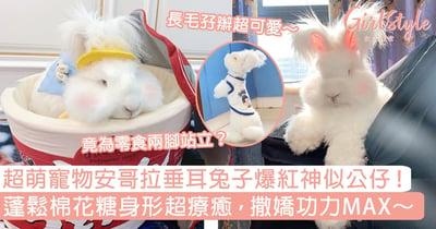 超萌寵物安哥拉垂耳兔子爆紅神似公仔!蓬鬆棉花糖身形超療癒,撒嬌功力MAX~