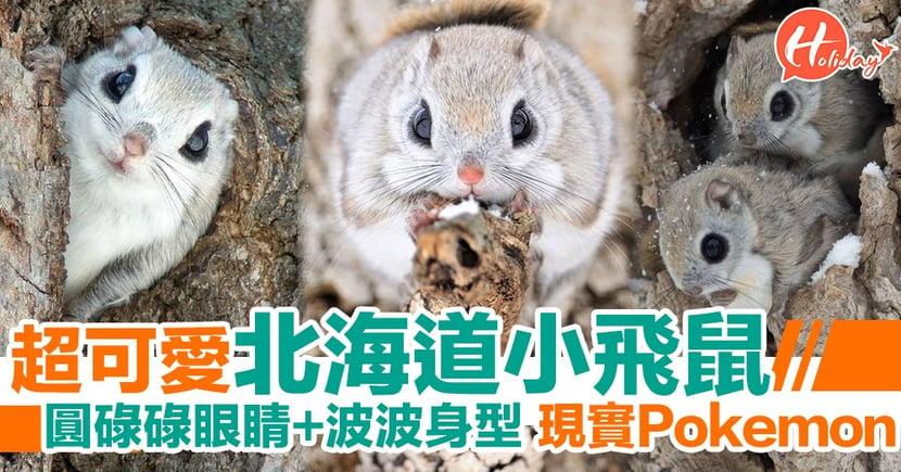現實版Pokemon?萌爆北海道小飛鼠  圓碌碌眼睛超可愛!