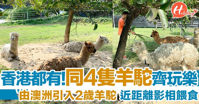 香港都有羊駝喇!同呆萌又可愛嘅羊駝影相兼餵食 仲有兔兔同羊仔添~