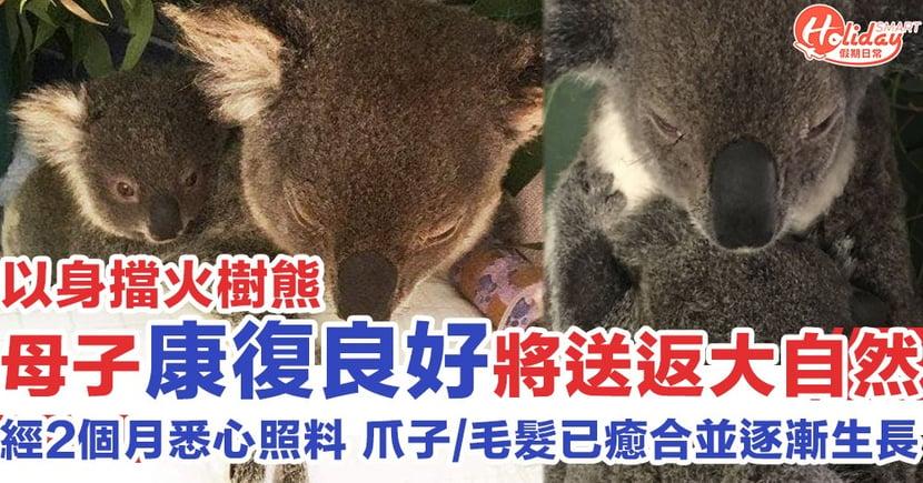 【澳洲山火】爪子毛髮已癒合重新生長!以身擋火樹熊母子康復良好 將送返大自然生活