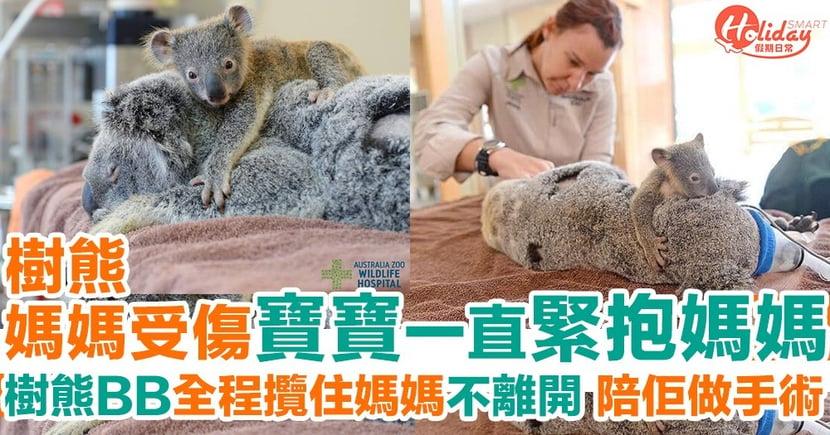 澳洲樹熊媽媽受傷接受治療 樹熊BB不願離開 抱緊媽媽不放開