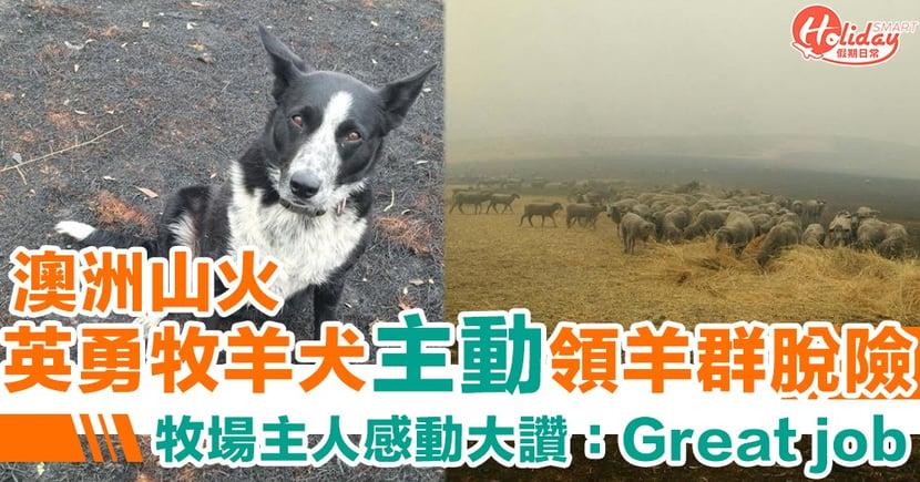 【澳洲山火】英勇牧羊犬火災中引領羊群脫險 牧場主人Cath Hill感動大讚:Great job