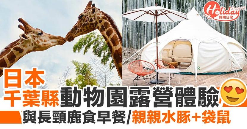 日本千葉縣動物園露營體驗 與長頸鹿近距離接觸