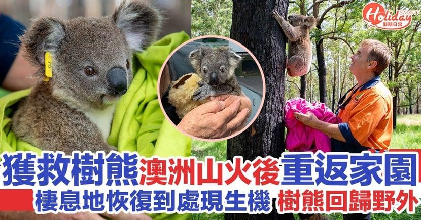 澳洲山火後3個月 首批獲救樹熊終重返家園!保育組織將關注野外生態