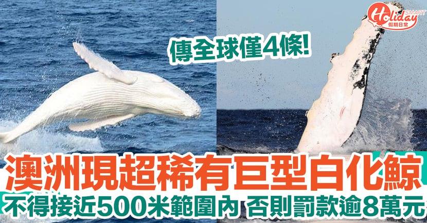 澳洲現稀有巨型大白鯨!傳全球僅得4條 故受保護 不得接近500米範圍內!