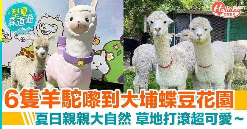 澳洲羊駝嚟到香港喇!6隻可愛小羊駝進駐大埔蝶豆花園 夏日必去親親大自然
