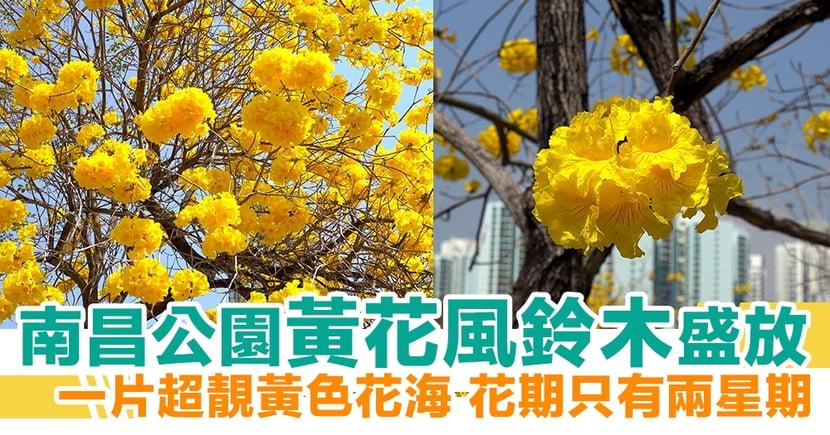 【賞花地點2021】南昌公園黃花風鈴木盛放 一片超靚黃色花海